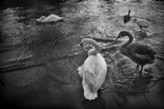 Swan taken by Ai Nikkor 35mm F1.4S:Black and White Photo-449